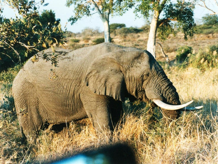 The agitated elephant before he charged the Vanagon