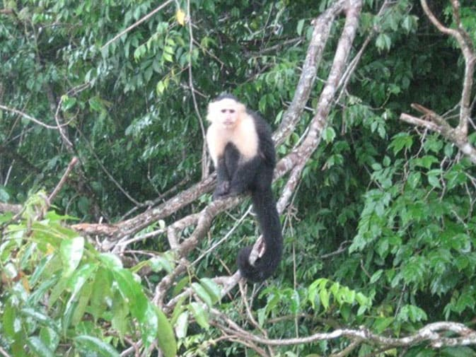 One of the many Capuchin monkeys in the Panama Canal