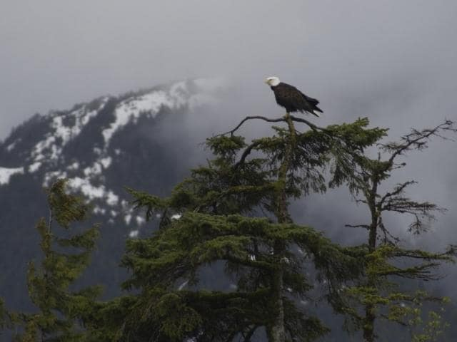 This is an image of a bald eagle in Alaska.