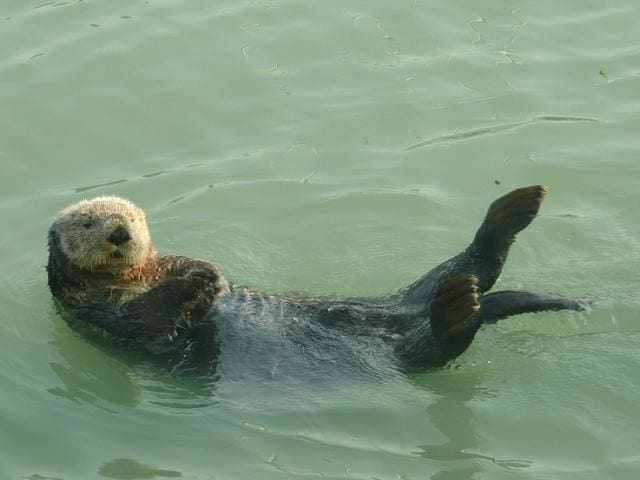 On your next Alaskan cruise, view sea otters in their natural, cold-water habitats.