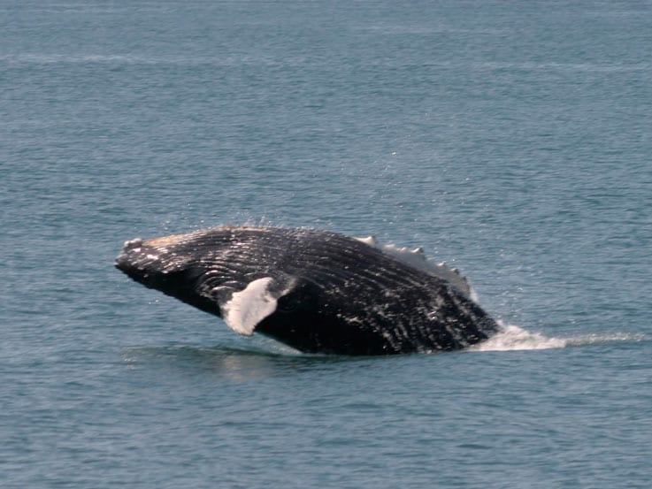 Humpback whale watching, Montague Island, Montague straits, Prince William Sound, Alaska