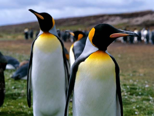 Penguins found in Falkland Islands, South Atlantic