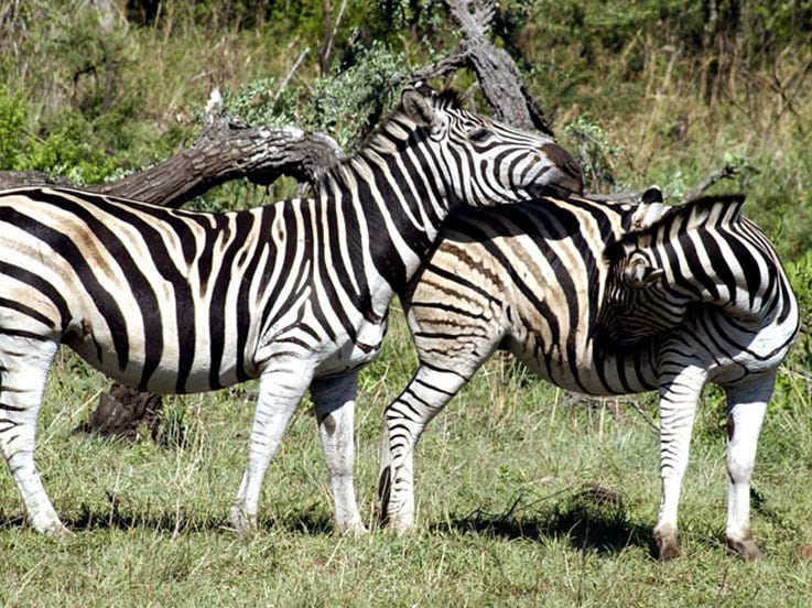 Zebras in the Game Reserve in Africa