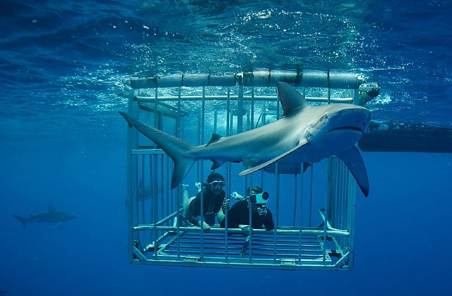 divers in a shark cage filming a shark encounter