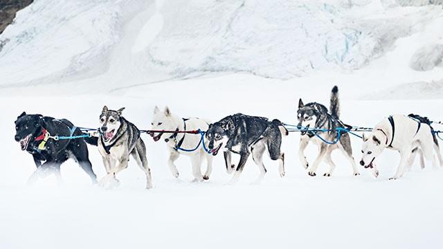 dog sledding facts