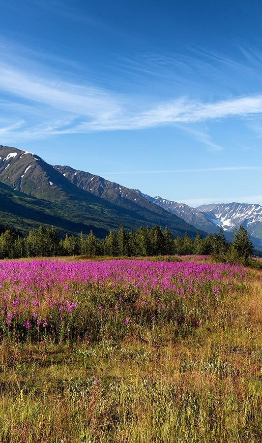 Wildflowers at the base of mountains in Denali National Park
