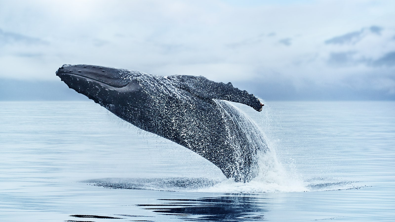 A humpback whale breaching the waters of Alaska