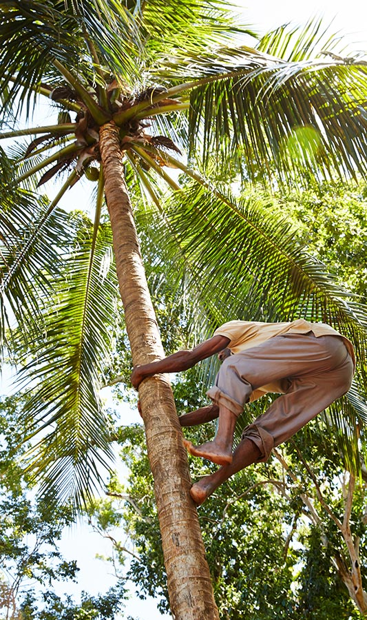 person climbing palm tree