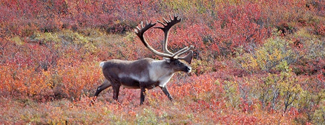 Denali National Park – Princess Cruises
