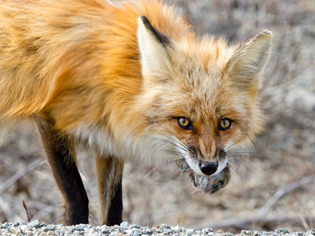 Small image of fox in Denali National Park