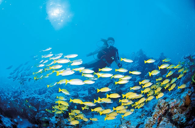 a diver swimming with yellow fish in the Great Barrier Reef
