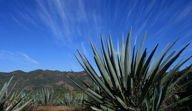 Learn About Tequila & Agave - Princess Cruises