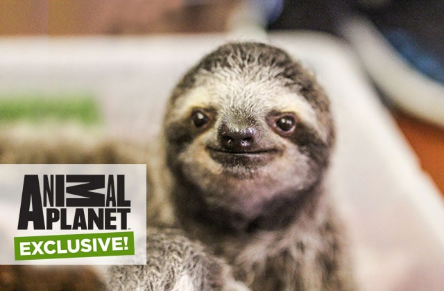 Snuggle up with a sloth on a Panama Canal cruise, an Animal Planet exclusive excursion on a Princess cruise to the Panama Canal