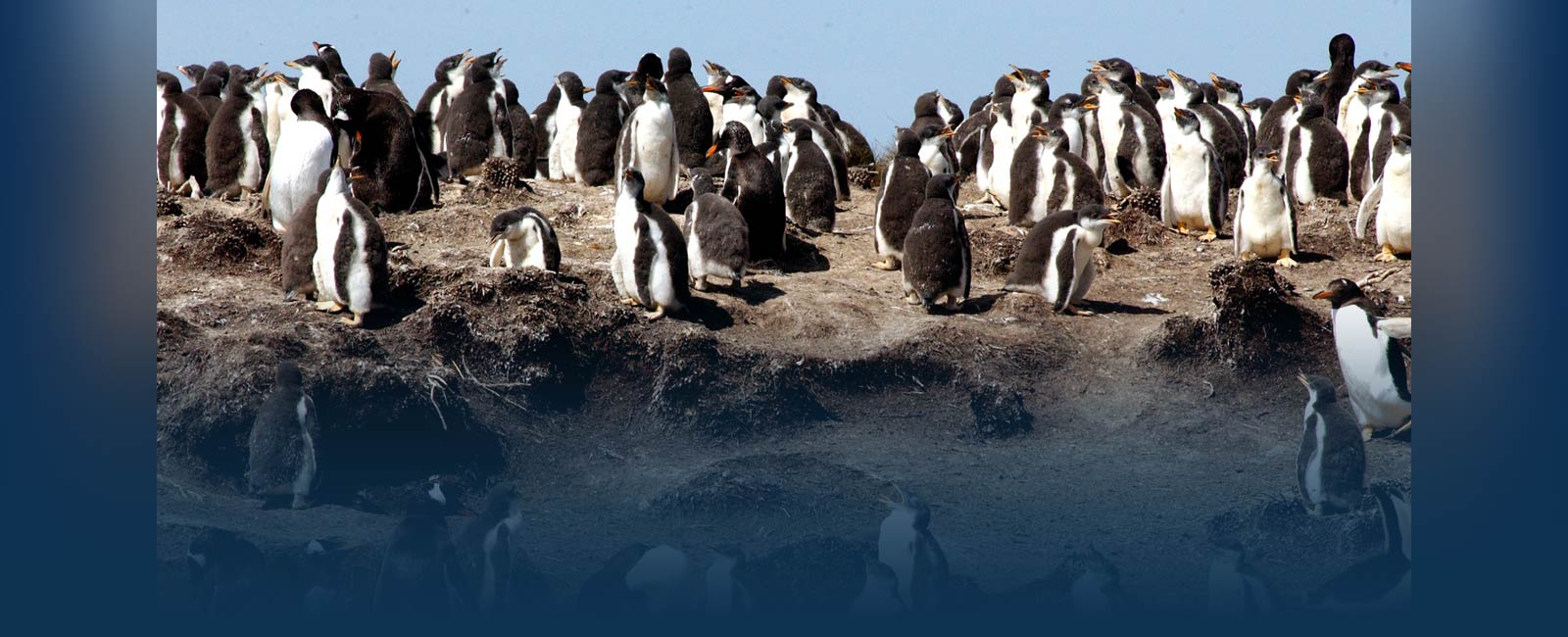 South America-penguins