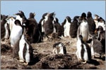 Penguins on South American Cruise