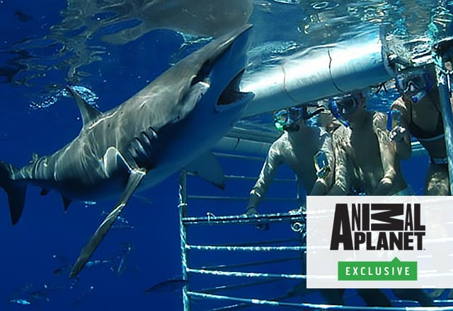 Animal Planet Exclusive! logo, people observing a shark under water from inside a protective cage