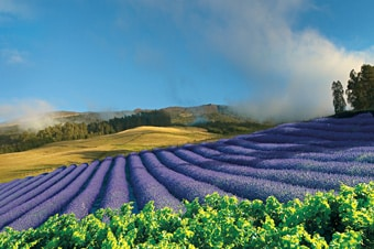 Upcountry Maui - Lavender Farm, Cheese & Organic Distillery  Enlarged image 1